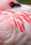 Pouco flamingo 004 2 Fotos de Stock Royalty Free