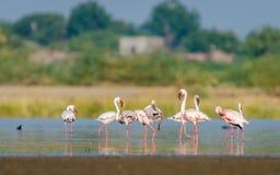 Pouco flamingo Imagens de Stock Royalty Free