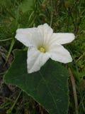 Pouco flor da cabaça foto de stock