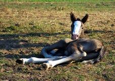 Pouco foal Imagens de Stock