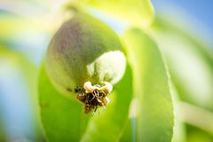 Pouco formiga em uma pera crescente fotografia de stock