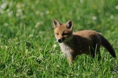 Pouco Fox na pastagem Imagens de Stock Royalty Free