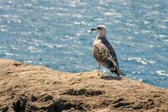 Pouco fuscus do Larus da gaivota com o dorso negro que está em uma rocha com Foto de Stock Royalty Free