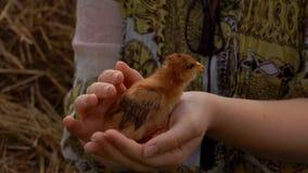 Pouco galinha senta-se nas mãos de um fazendeiro filme