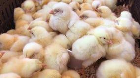 Pouco galinhas, galinha do beb? na explora??o av?cola filme