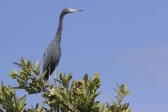 Pouco garça-real azul que se senta na parte superior de um arbusto nos manguezais foto de stock