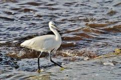 Pouco garzetta do Egretta do egrett pelo mar Fotografia de Stock