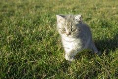 Pouco gatinho britânico que olha na grama verde foto de stock