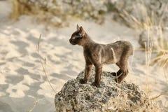 Pouco gatinho de Blkack Imagem de Stock