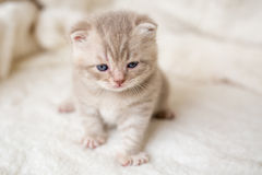 Pouco gatinho de orelhas caídas claro com olhos azuis em uma esteira da pele Fotos de Stock