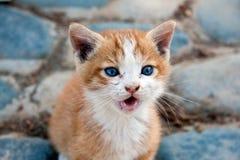 Pouco gatinho lop-eared vermelho de Inglaterra Imagens de Stock