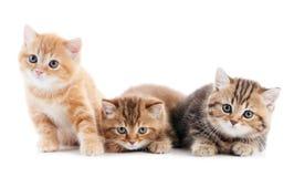 Pouco gato britânico dos gatinhos do shorthair Imagem de Stock