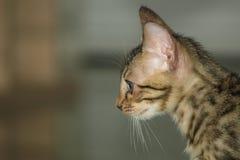 Pouco gato de bengal Imagem de Stock Royalty Free