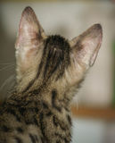Pouco gato de bengal Fotografia de Stock Royalty Free