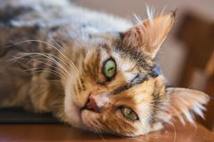 Pouco gato peludo fotografia de stock