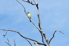 Pouco Goldfinch Fotografia de Stock Royalty Free