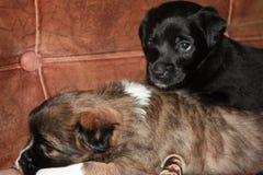 Pouco híbrido bonito, dois cachorrinhos pretos e marrons imagens de stock