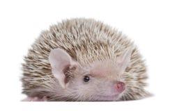 Pouco Hedgehog Tenrec - telfairi do Echinops Foto de Stock