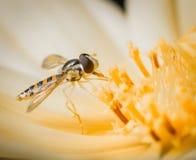 Pouco inseto que descansa em uma flor alaranjada amarela Fim macro da imagem acima foto de stock