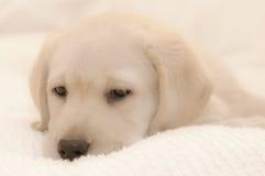 Pouco Labrador Fotografia de Stock Royalty Free