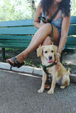 Pouco Labrador Imagem de Stock Royalty Free