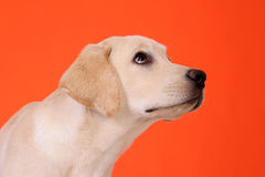 Pouco Labrador Imagens de Stock