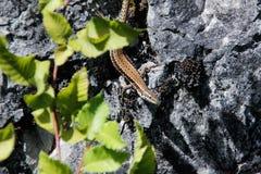 Pouco lagarto marrom em uma rocha fotografia de stock
