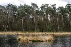 Pouco lago em uma floresta do pinho imagem de stock royalty free