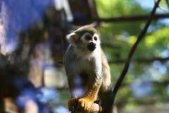 Pouco macaco que senta-se em um ramo fotografia de stock