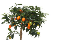 Pouco mandarino Imagens de Stock Royalty Free