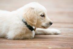 Pouco maravilhas brancas do cão do golden retriever da pele que colocam afastado no assoalho da placa de madeira fotografia de stock royalty free