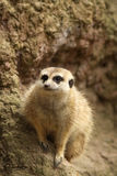 Pouco meerkat no olhar para fora fotografia de stock