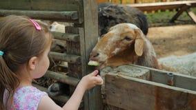 Pouco meninas bonitos alimenta carneiros em uma exploração agrícola com cascas da melancia e folhas da planta video estoque