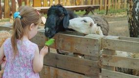 Pouco meninas bonitos alimenta carneiros em uma exploração agrícola com cascas da melancia e folhas da planta filme