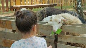 Pouco meninas bonitos alimenta carneiros em uma exploração agrícola com cascas da melancia e folhas da planta vídeos de arquivo