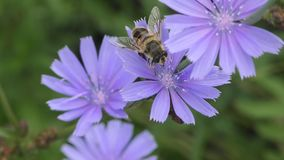 Pouco mosca nos estames da flor vídeos de arquivo