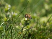 Pouco moscas de abelha felizmente no jardim imagem de stock