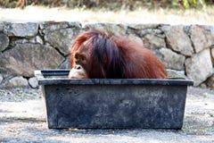Pouco orangotango de Sumatran que embebe na banheira plástica imagens de stock royalty free