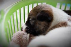 Pouco os cachorrinhos bonitos est? dormindo fotos de stock