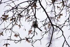 Pouco pássaro do pardal que senta-se na árvore leafless do inverno fotografia de stock