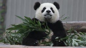 Pouco Panda Cub está aprendendo comer as folhas de bambu video estoque