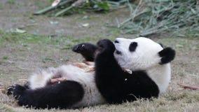 Pouco Panda Cub está refrigerando para fora, China video estoque