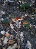 Pouco papoila vermelha só na terra da solidão da mola da floresta, república de Crimeia fotografia de stock