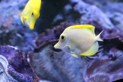Pouco peixes amarelos da espiga, peixes do recife de corais imagens de stock