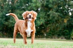 Pouco perfil do cão do rio Imagens de Stock Royalty Free