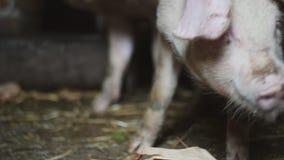 Pouco porco em uma exploração agrícola de porco vídeos de arquivo