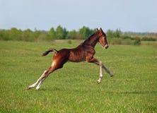 Pouco potro apressa-se no prado verde Imagens de Stock Royalty Free