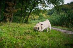 Pouco pug gordo Fotografia de Stock Royalty Free