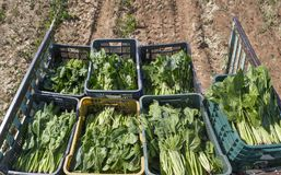 Pouco reboque de trator noun com os spinachs apenas recolhidos Fotos de Stock