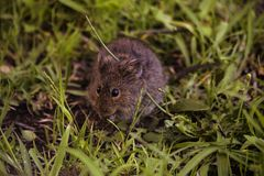 Pouco roedor selvagem fotos de stock royalty free